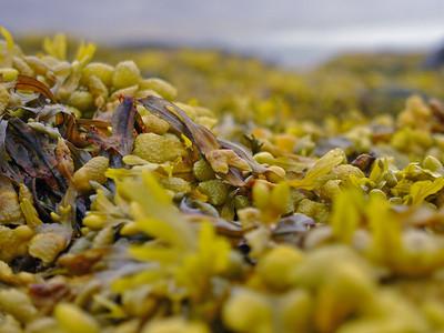 Deer Island seaweed