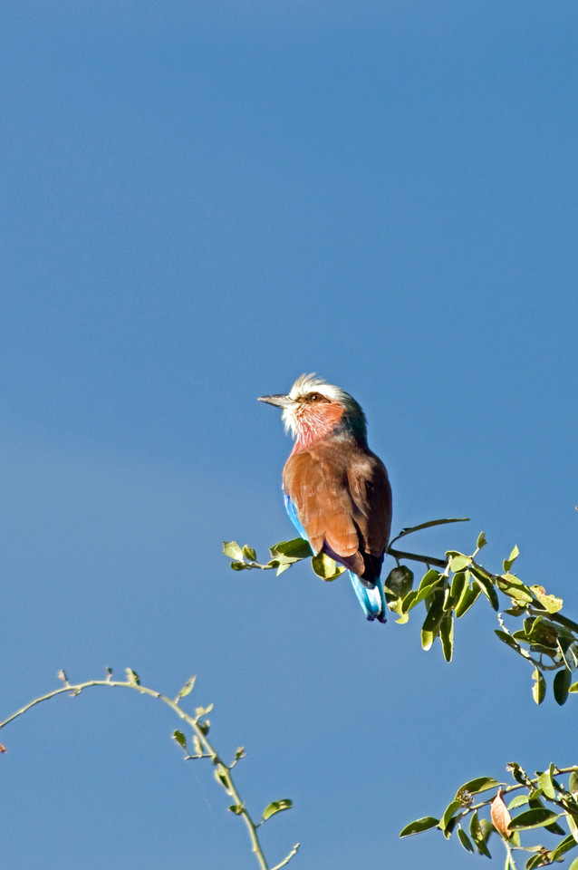 First sight of the lilac breasted roller (or LBR)