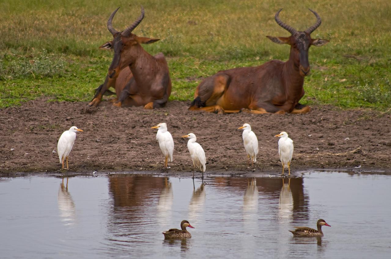Tsessebe, Cattle Egrets, Ducks