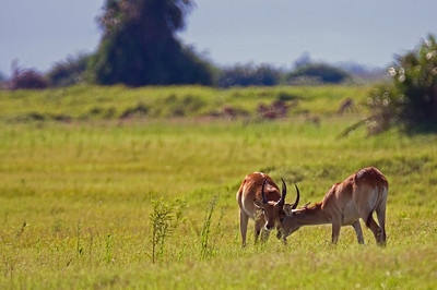 Young Lechwe Playing