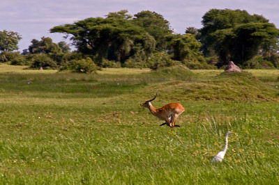 Red Lechwe in mid-flight