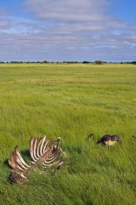 Ex Buffalo on Duba Plain