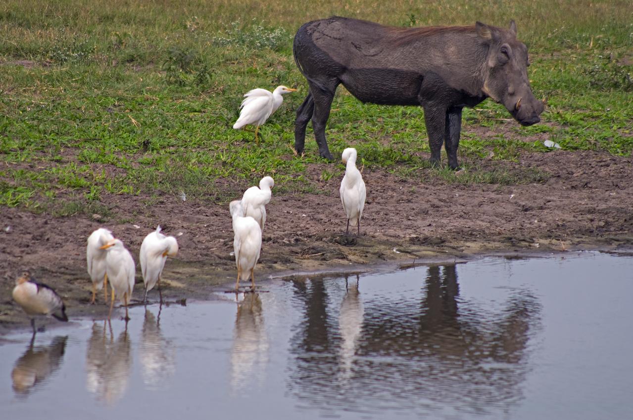 Warthog and Cattle Egrets