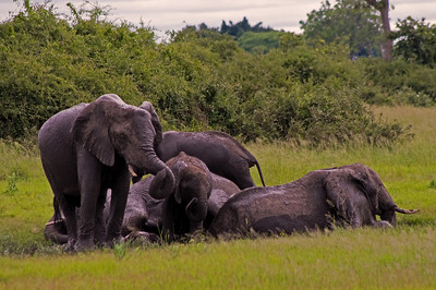 Elephants at Duba