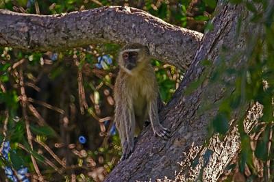 Vervet Monkey at Duba
