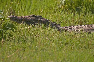 Croc at Duba