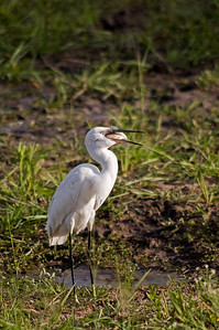 "Little Egret after successful ""hunt"""