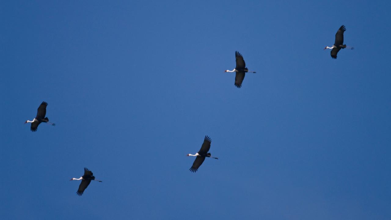 Wattled Cranes in flight