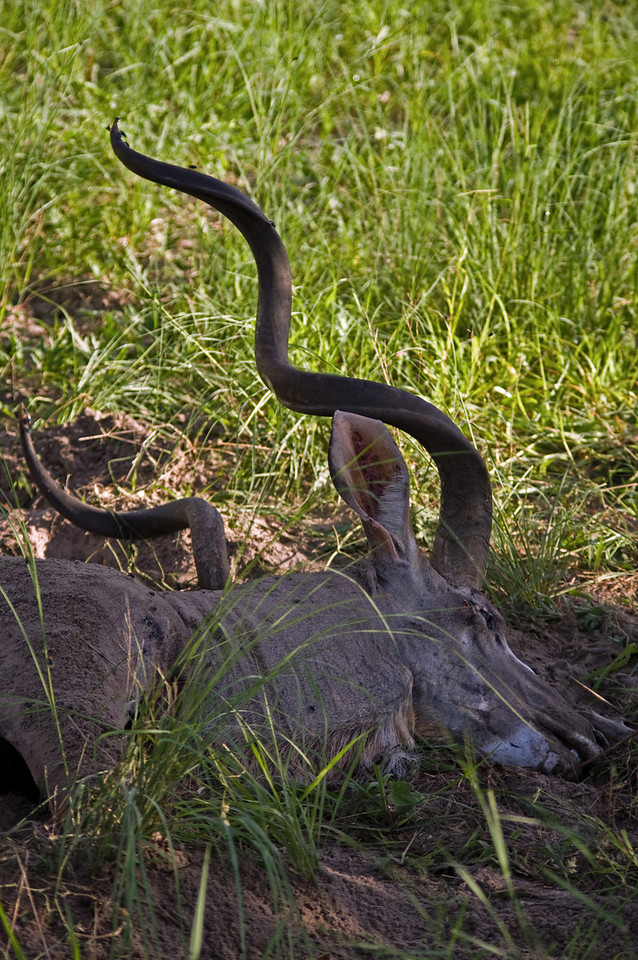 Kudu Lion Kill (glad camera does not capture smells)