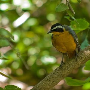 Heuglin's Robin