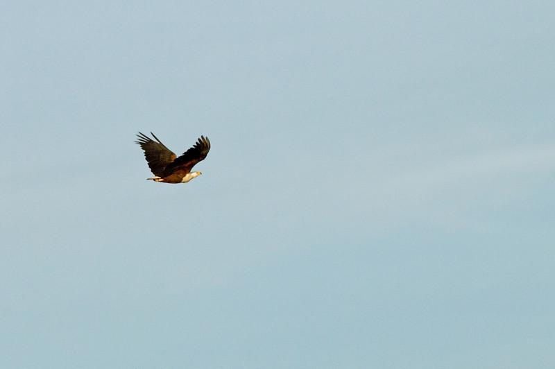 Fish Eagle in flight