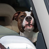 2011 - 5/2 - Dog in Vehicle - Meijer Parking Lot - Normal Illinois - 2