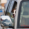 2011 - 5/2 - Dog in Vehicle - Meijer Parking Lot - Normal Illinois - 1