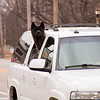 2011 - Dog out for a ride -  Normal Illinois - 3/7 - 2