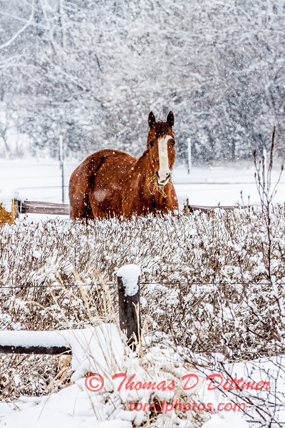 (# 8) Horse in the snow