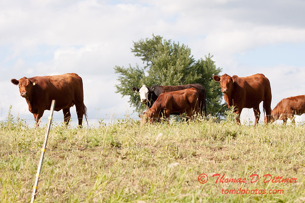 Cows in a pasture on a sunny summer afternoon