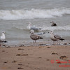 Gulls near Lake Michigan