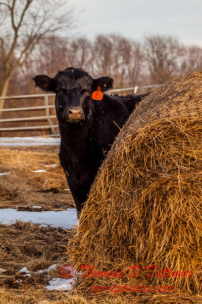 # 6 - Cow eyes the camera with suspicion while feeding