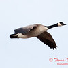 4 - A goose takes flight near the Central Illinois Regional Airport - Bloomington Illinois - Sunday March 9th 2014