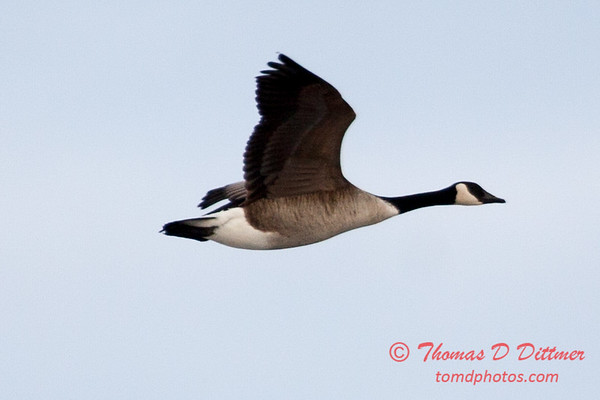 6 - A goose takes flight near the Central Illinois Regional Airport - Bloomington Illinois - Sunday March 9th 2014