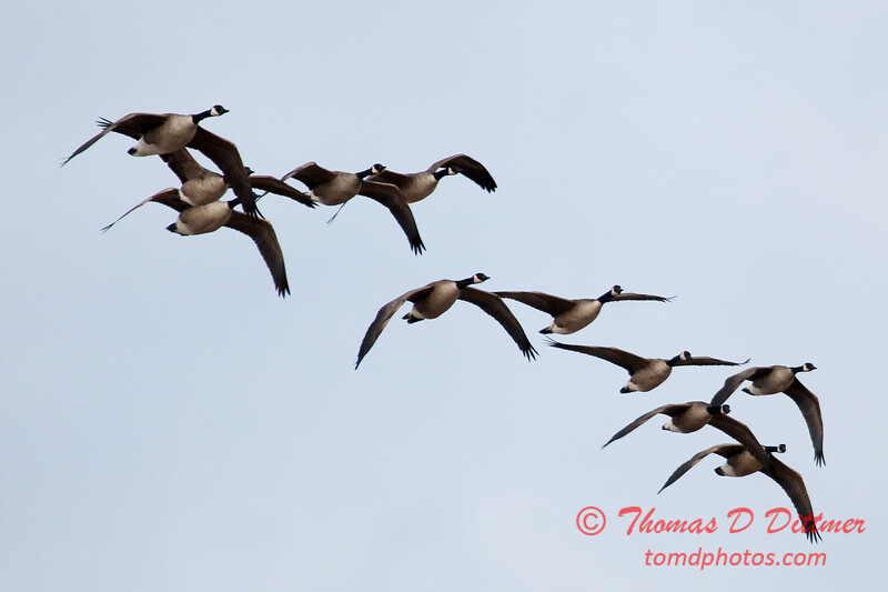 2 - A small flock of geese takes flight near the Central Illinois Regional Airport - Bloomington Illinois - Sunday March 9th 2014