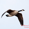 3 - A goose takes flight near the Central Illinois Regional Airport - Bloomington Illinois - Sunday March 9th 2014