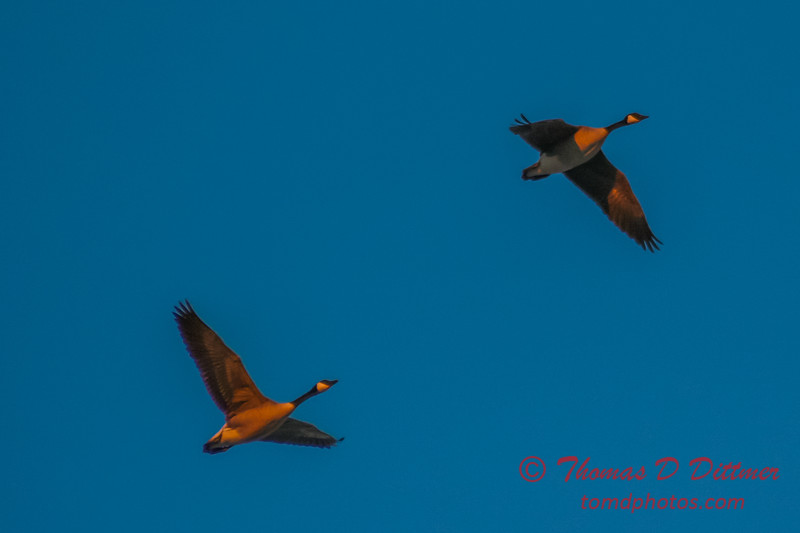(# 1) Canadian Geese over Byerly Aviation Ramp