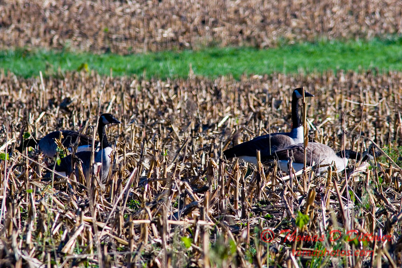 Geese in field near Lake Evergreen Hudson Illinois - 40