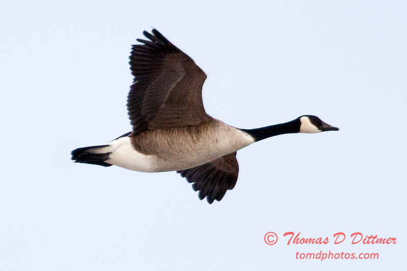 5 - A goose takes flight near the Central Illinois Regional Airport - Bloomington Illinois - Sunday March 9th 2014