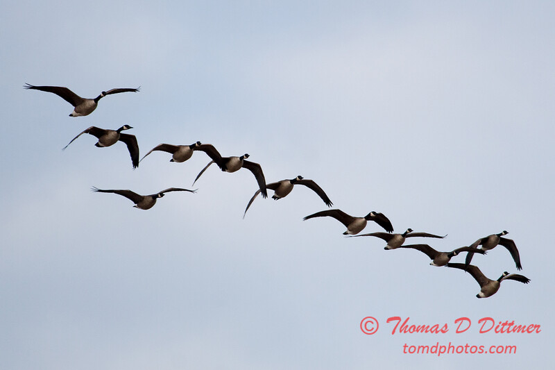 1 - A small flock of geese takes flight near the Central Illinois Regional Airport - Bloomington Illinois - Sunday March 9th 2014