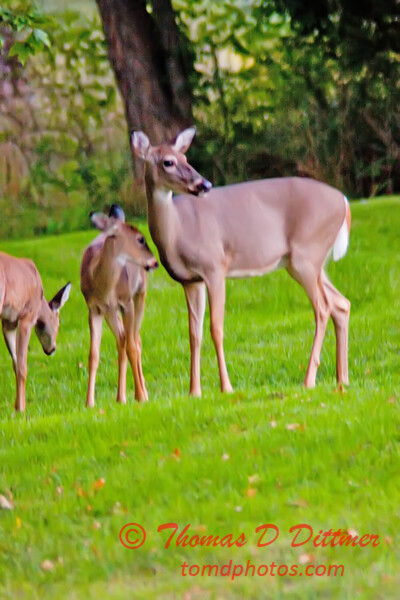 Deer on front lawn of residence near Lake Evergreen Hudson Illinois 7