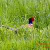 Pheasant - E 2400 N Road - Woodford County - Illinois - May 15 2009 - 3