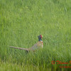 Pheasant - E 2400 N Road - Woodford County - Illinois - May 15 2009 - 1