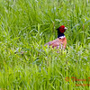 Pheasant - E 2400 N Road - Woodford County - Illinois - May 15 2009 - 4