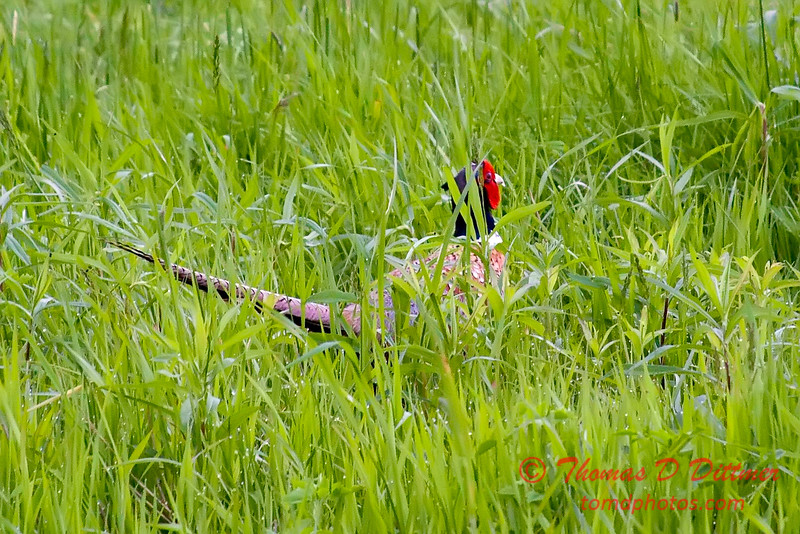 Pheasant - E 2400 N Road - Woodford County - Illinois - May 15 2009 - 2
