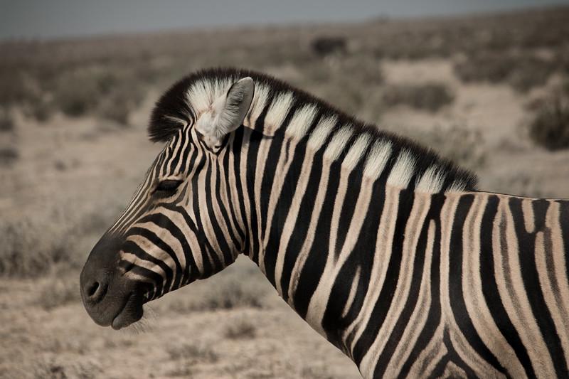 Profile of a Zebra