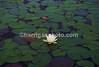 Lily pad Lake Umbagog