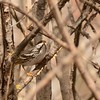 Blackpoll Warbler (Male)