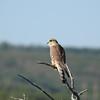 Falcon (Merlin Falcon)