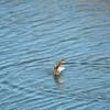 Merganser (Common Merganser) Juvenile