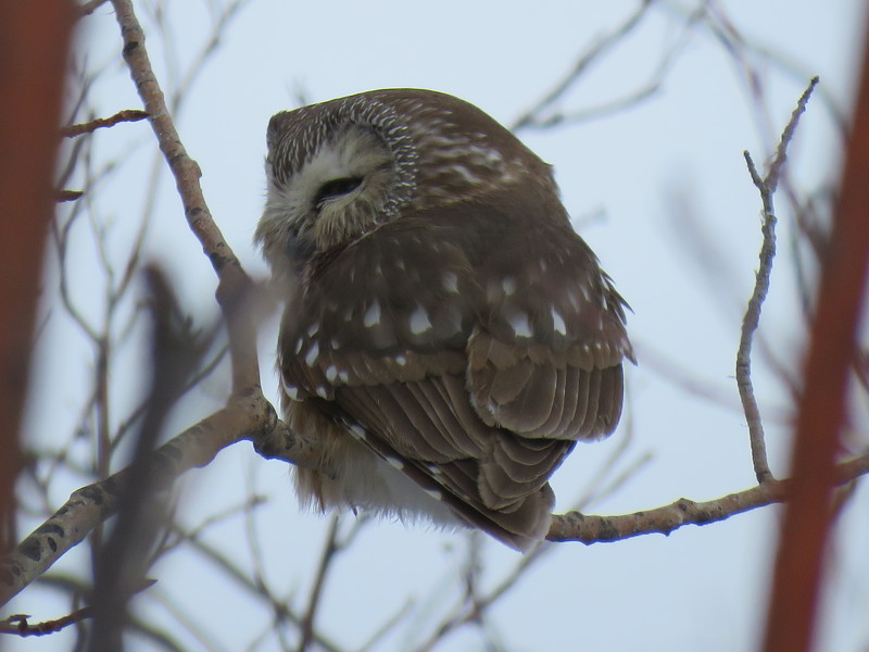 Northern saw-whet owl Apr 8