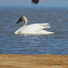 Tundra swan May 13