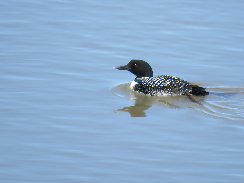 Common loon April 22