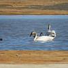 Tunda swans May 13
