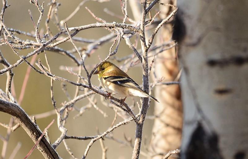Finch (Goldfinch)