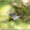 Rumped Warbler