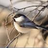 Chickadee (Black Capped Chickadee)