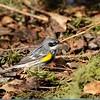 Warbler (Yellow Rumped Warbler)