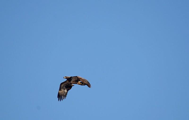 Eagle (Bald Eagle (immature))