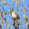 Clay Coloured Sparrow